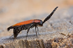 A net wing beetle laying eggs on a rotting tree tr Royalty Free Stock Image