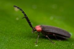 Net winged beetle Stock Image