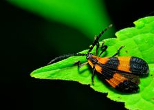 Net-winged Beetle Royalty Free Stock Image