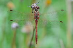 Net wings of dragonfly. Dragonfly perched on a branch for rest Stock Image