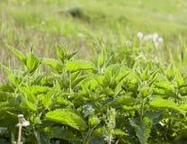 Netel groen blad stock foto's
