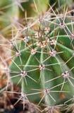 Netelig de installatiedeel van de vatcactus Royalty-vrije Stock Afbeelding