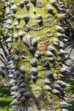 Netelige boomstam van een Avocadoboom Stock Afbeelding
