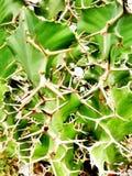 Netelige Cactus Royalty-vrije Stock Fotografie