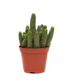 Netelige geïsoleerde cactusinstallatie Stock Fotografie