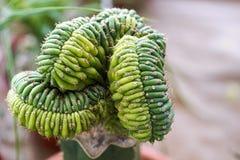 Netelige succulente die installatie als een gerolde slang wordt gevormd stock foto