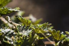 Netels in de tuin Stock Afbeelding