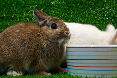 Netherland dwarf. Rabbit eating on the grass background stock image