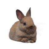 Netherland dwarf rabbit. Baby netherland dwarf rabbit squat on white background Royalty Free Stock Photography
