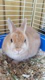 Netherland dwarf rabbit. Beautiful tan Netherland dwarf Stock Images