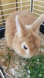 Netherland dwarf rabbit. Beautiful tan Netherland dwraf Royalty Free Stock Photo