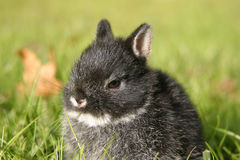 Netherland Dwarf Rabbit I. Close up of a young Netherland Dwarf rabbit in a black-otter color coat Stock Photos