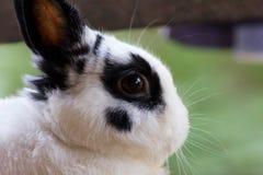 Netherland dwarf rabbit. View of rabbit, close-up (White-black Netherland dwarf rabbit Royalty Free Stock Photos