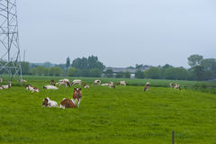 Netherlands Cows Stock Images