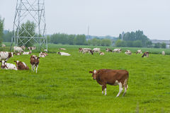 Netherlands Cows Royalty Free Stock Photography
