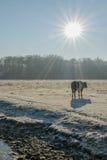 The Netherlands - De Bilt. Black Dutch Belted cow in sunny winter landscape, De Bilt, The Netherlands stock image