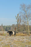 The Netherlands - De Bilt. Black Dutch Belted cow in sunny winter landscape, De Bilt, The Netherlands Royalty Free Stock Images