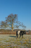 The Netherlands - De Bilt. Black Dutch Belted cow in sunny winter landscape, De Bilt, The Netherlands Stock Photos