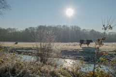 The Netherlands - De Bilt. Black Dutch Belted cow in sunny winter landscape, De Bilt, The Netherlands Stock Photography