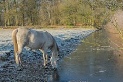 The Netherlands - De Bilt. Gray horse, tries to drink from frozen ditch in sunny winter landscape, De Bilt, The Netherlands stock image