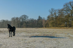 The Netherlands - De Bilt. Resting black horse, standing in sunny winter landscape, De Bilt, The Netherlands Royalty Free Stock Images
