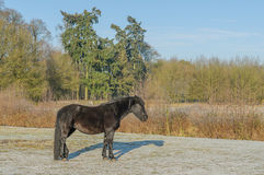 The Netherlands - De Bilt. Resting black horse, standing in sunny winter landscape, De Bilt, The Netherlands Stock Photos