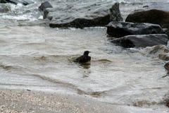 Sparrow bathing in the Ijsselmeer. Netherlands,Flevoland,Urk,june 2017: Sparrow bathing in the Ijsselmeer Royalty Free Stock Photography