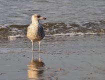 netherlands Mer Plage Mouette photographie stock