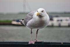 netherlands oiseaux Mouette du nord photos libres de droits