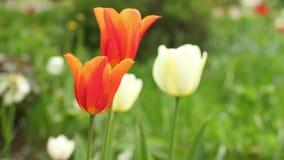 Netherlands Orange Tulips stock video