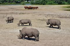 Netherlands. Safari. Rhinoceroses walk on Safari open spaces. Rhinoceroses one by one live and travel. Sometimes form small groups.One of the largest royalty free stock image