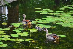 Netherlands.Schedam.Family of the Egyptian geese. royalty free stock image