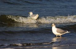 Netherlands. Sea. Seagulls. Meeting with a sea wave. stock photo