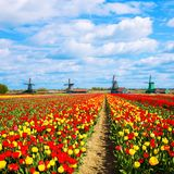 Netherlands tulip fields and mills. Royalty Free Stock Photos