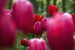 Netherlands Tulips royalty free stock photo