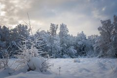 Nethybridge woodland. In Speyside, Scotland,  covered in heavy snow at Christmas. December 2009 Royalty Free Stock Photo