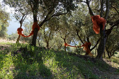 Nets in a field of olive trees Stock Images