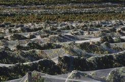 Nets over vineyard Royalty Free Stock Image