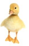 Nett eine kleine gelbe Ente Stockbild