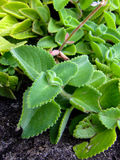 Nett, grün, Wut Succulentanlage Stockfotografie