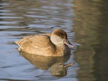 Netta rufina (fistione turco). Female Red Crested Pochard reflected in pond. This diving duck can be found in southern Europe and northern Africa and the male Stock Photo