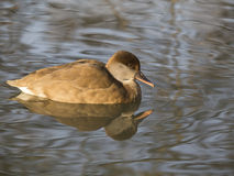 Netta rufina (fistione turco). Female Red Crested Pochard reflected in pond. This diving duck can be found in southern Europe and northern Africa and the male Royalty Free Stock Photos
