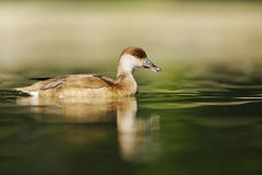 Netta rufina, Red-crested Pochard female Royalty Free Stock Photography
