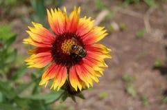Nettare arancio L'ape dentro il fiore giallo arancione Immagini Stock