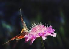 Nettare bevente della farfalla Fotografia Stock