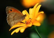 Nettare bevente della farfalla da un fiore giallo Immagine Stock