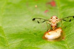 Nettare dell'ape sui precedenti della foglia Immagini Stock