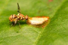 Nettare dell'ape sulle foglie Immagine Stock