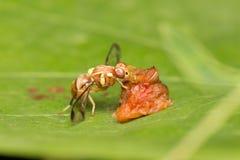 Nettare dell'ape sulle foglie Immagine Stock Libera da Diritti