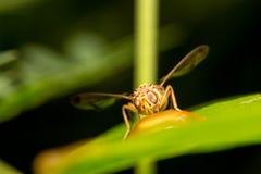 Nettare dell'ape sulle foglie Fotografia Stock
